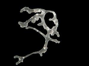 """Polyplacotoma mediterranea (haplotype H0, clone """"Alassio"""") Author: Hans-Jürgen Osigus, Schierwater lab, Stiftung Tierärztliche Hochschule Hannover"""