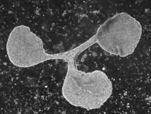 """Fission of Trichoplax adhaerens (haplotype H1, clone """"Grell"""") Author: Hans-Jürgen Osigus, Schierwater lab, Stiftung Tierärztliche Hochschule Hannover"""