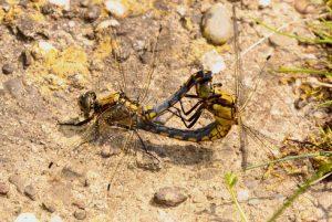 Hier ist ein seltenes Dokument einer Paarung mit einem unausgefärbten Männchen zu sehen Foto: waldschrat-online.de