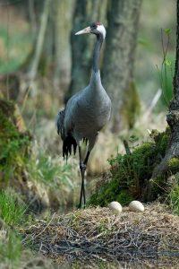 Kranich am Nest