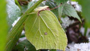 Der Zitronenfalter: An Zweigen hängend trotzt er Schnee und Eis dank körpereigenem Frostschutzmittel. Wikipedia, Harald Süpfle