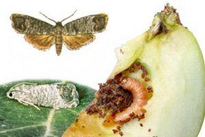 Der Apfelwickler (links) schädigt Äpfel durch den Fraß der Larve in der Frucht (rechts). Zeichnung oben: H. Boltshauser und C. Votteler, Fotos unten: JKI.