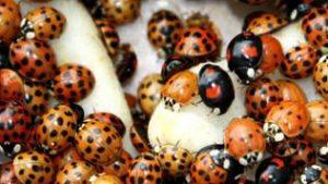 Die asiatischen Marienkäfer kommen mit unterschiedlichen Farben und Punkten vor.