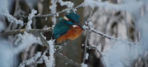 Eisvogel im Schnee - Foto: Kurt Metz
