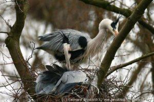 Graureiher in ihrer Brutkolonie in hohen Bäumen - Foto: Gerhard Brodowski