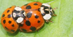 Der Harlekin-Marienkäfer ist besonders vermehrungsfreudig. - Foto: Helge May