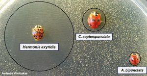 Eine mit Kolibakterien – erkennbar an den weißen Punkten – beimpfte Petrischale zeigt das enorme antibakterielle Potenzial des Harlekin (Harmonia axyridis). Während sich um die heimischen Arten Siebenpunkt (Coccinella septempunctata) und Zweipunkt (Adalia bipunctata) kein oder nur ein kleiner Hemmhof gebildet hat, werden in der Umgebung des Harlekin die Bakterien abgetötet.