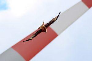 Rotmilane gehören zu den häufigsten Kollisionsopfern an Winkraftanlagen - Foto: Maik Sommerhage