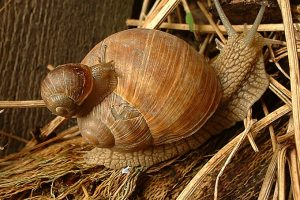 Helix pomatia, die Weinbergschnecke - Foto: Walter Wimmer
